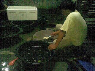 Benih Lele Sangkuriang Medan jual bibit benih lele sangkuriang x phyton dan benih ikan
