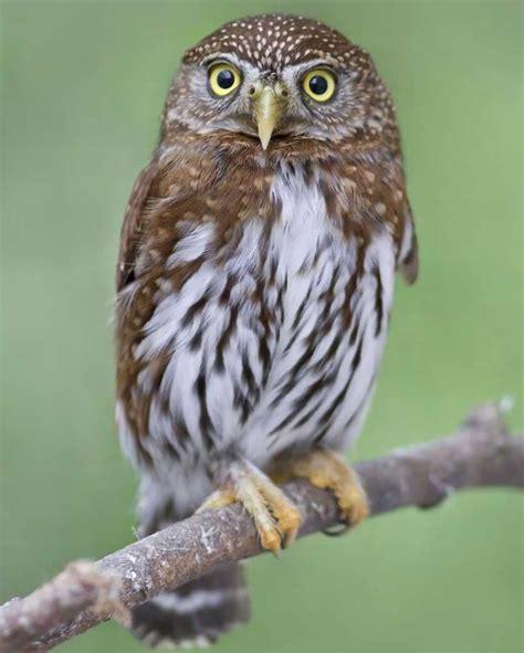 northern pygmy owl audubon field guide