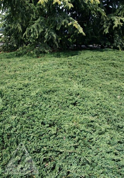 rug juniper wilton blue rug juniper plant library pahl s market apple valley mn