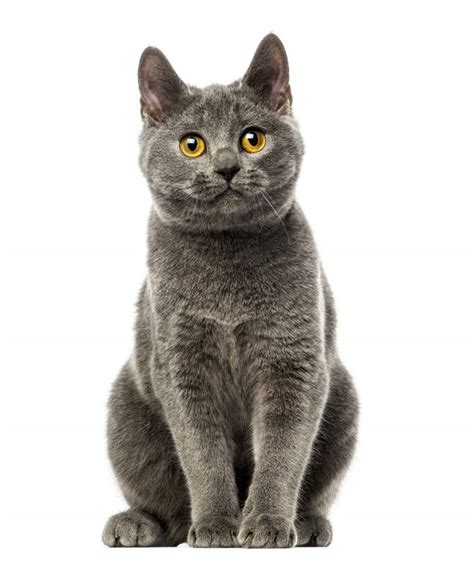 Chartreux   Cats   Breed Information   Omlet