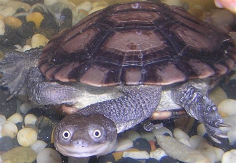 Neck Turle 10 weirdest reptiles on the planet toptenz net