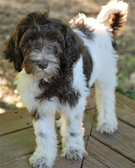 white labradoodle puppies 17 best ideas about white labradoodle on golden doodles goldendoodles and