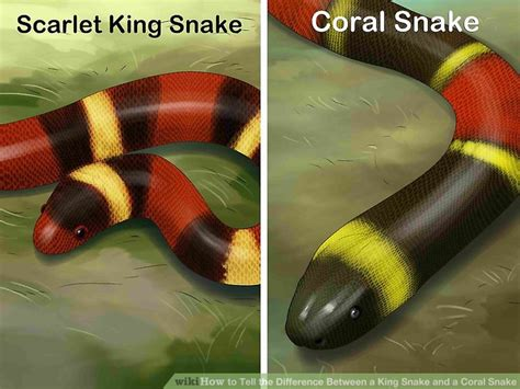 coral snake colors how to tell the difference between a king snake and a