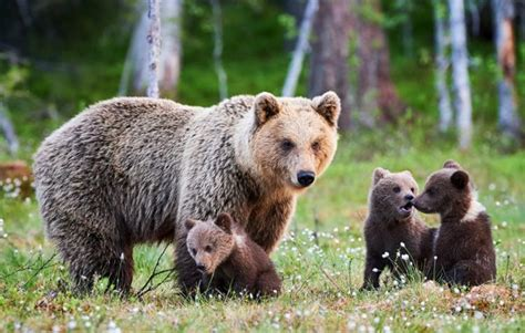 Grizzly Bears Yellowstone National Park U S National Park Service - yellowstone grizzly bears to be removed from endangered