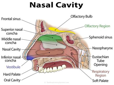 Nose Cavity Diagram nasal cavity definition anatomy functions diagrams