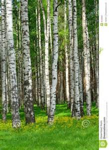 Birch trees stock image image 35792861