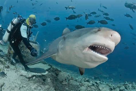 torrent ai diving in paradise shark adventures in thailand 3d 2012 the world s best shark dive dive magazine