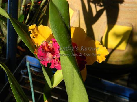 St Cattleya 1 2 Tamat cattleya orchid kathy s korner