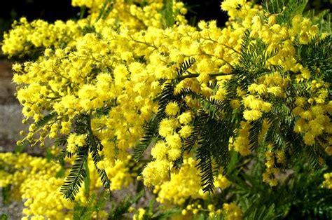 dalle allée jardin 1766 coltivare la mimosa acacia dealbata piante da giardino
