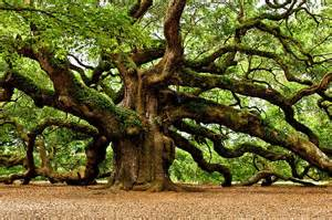 define tree the oak tree in mythology symbolic meaning