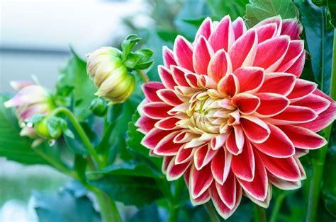 fiori dalia linguaggio dei fiori la dalia pollicegreen