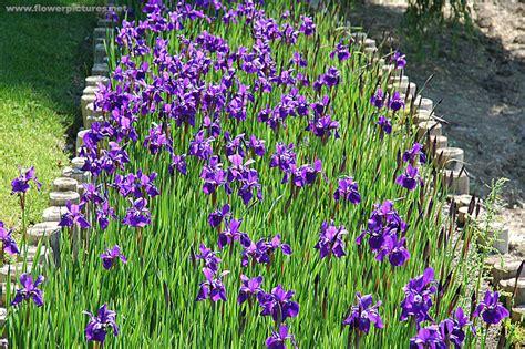 iris flower garden iris flower garden iris flower gardens journal garden
