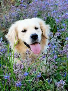 getting a golden retriever this is such a cutie woofy who wakes up early to enjoy the