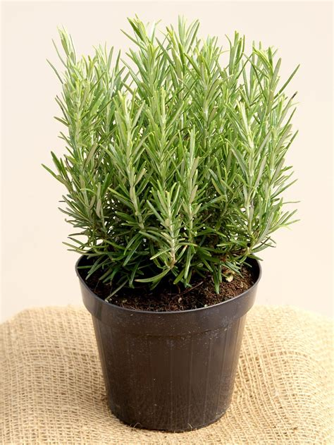 Indoor Herb Pots rosemary pot plant top topiary herbs top topiary