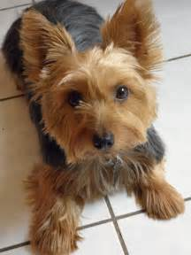 silky terrier hair cut haircuts for silky terriers newhairstylesformen2014 com