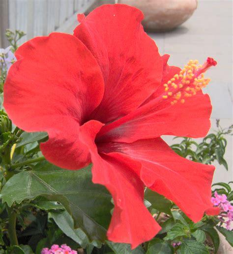 fiore di ibiscus file ibiscus fiore 010010001 png