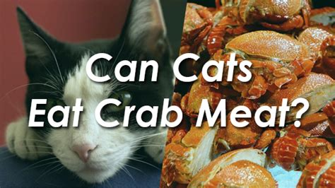 can dogs eat crab can cats eat cheetos pet consider