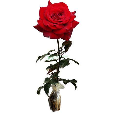 Bibit Bunga Mawar Potong bibit bunga mawar merah butterfly kupu kupu gardener id