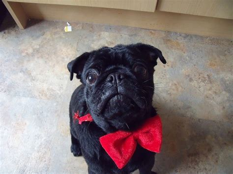 pug bow tie pug with bow tie animals