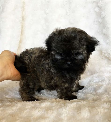 puppies for sale california teacup malti poo puppy for sale california breeder