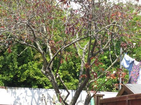 pruning old ornamental cherry tree diynot forums