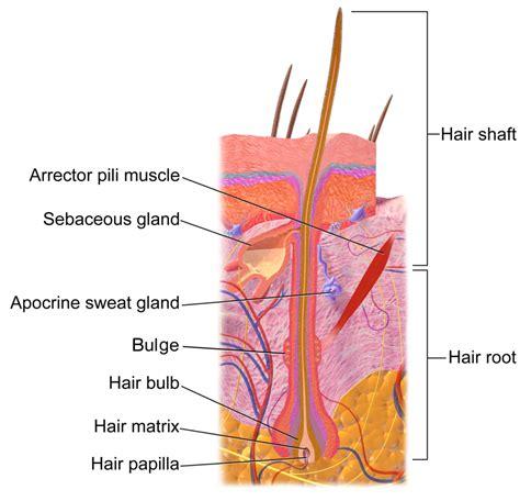 Diagram Of Hair how hair grows understanding keratin permanence