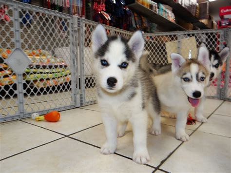 puppies for sale in jackson ms siberian husky puppies dogs for sale in jackson mississippi ms 19breeders