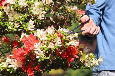 rhododendron schneiden wann und wie japanische azalee schneiden 187 wann und wie wird s gemacht