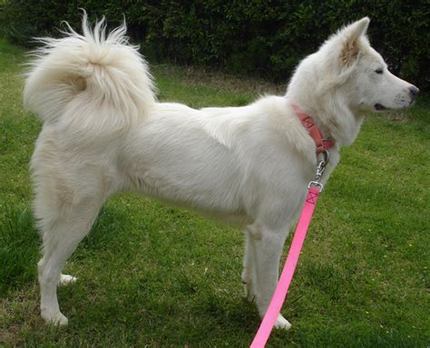 laid back breeds pungsan breed guide learn about the pungsan