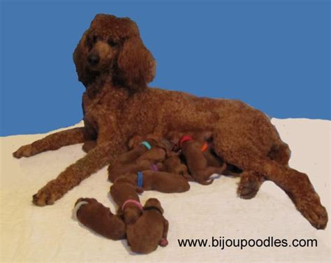 average standard poodle lifespan how big is the average standard poodle dogs in our