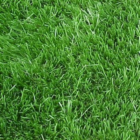 bermuda lawn grass seeds  grams buy
