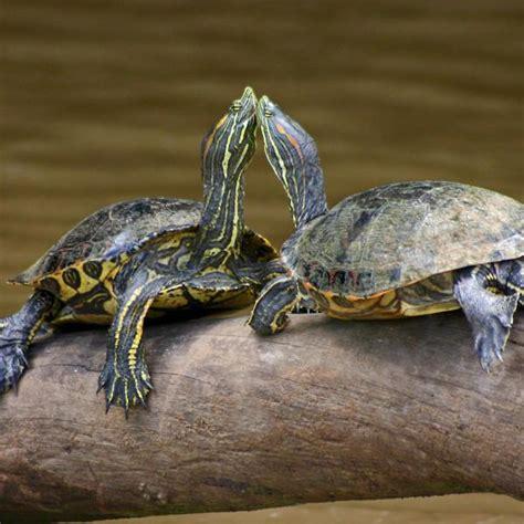 alimentazione tartarughe acqua dolce specie di tartarughe d acqua dolce