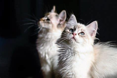 gattini alimentazione alimentazione gatto a 4 mesi come deve essere dogalize