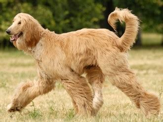 afghan breed afghan hound faq frequently asked questions about afghan hounds