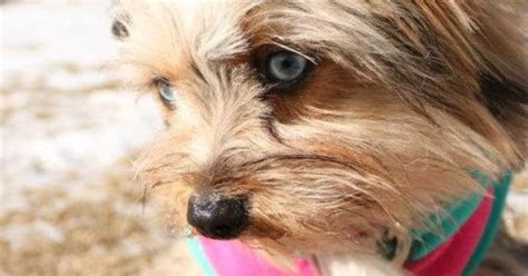 blue eyed yorkie cutest blue eyed yorkie animals blue