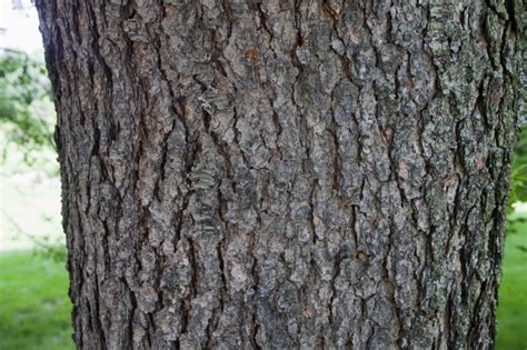 black cherry quot cartilaginea quot tree bark clippix etc educational photos for students and teachers
