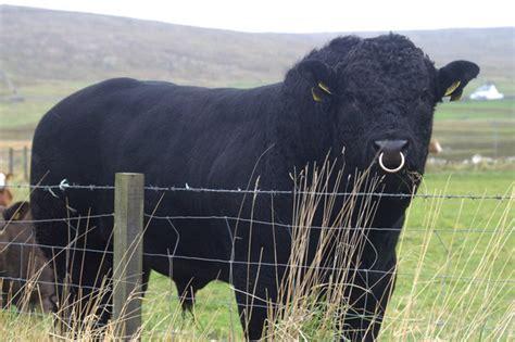 Big Black file big black bull haroldswick geograph org uk