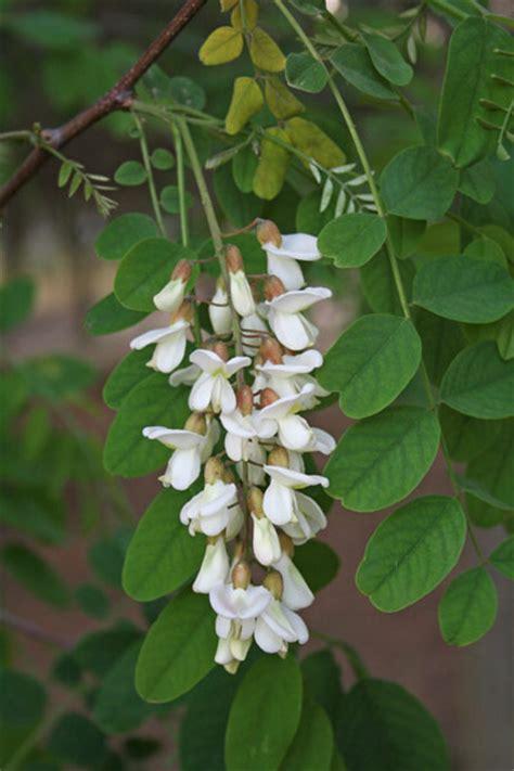 fiori di sardegna robinia pseudoacacia flora di sardegna