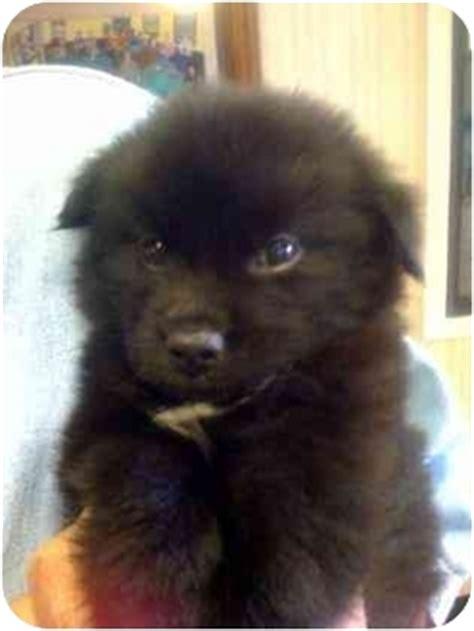 schipperke pomeranian mix puppies for sale brown schipperke breeds picture