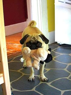 what do pugs like to eat 1000 images about all about pugs on pug pugs and pug