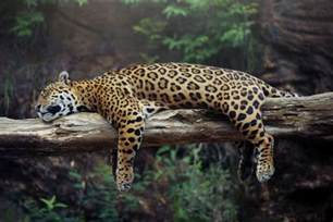 Do Jaguars Eat Plants 8 Animals That To Get High Takepart