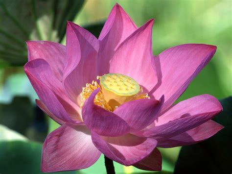 lotus flower purple lotus flower flower hd wallpapers images
