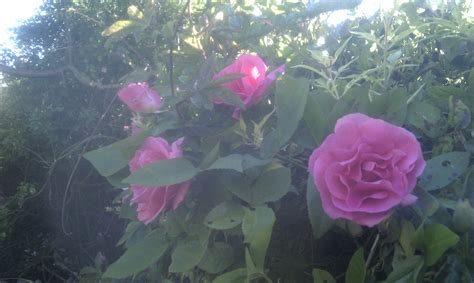 Garden Of Roses Poet by Nature Songs And Poems By Hillawi