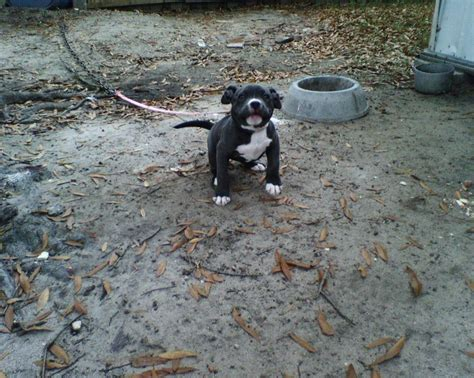 pitbull puppies for sale in alabama best 10 pitbull puppies for sale ideas on blue pits for sale baby