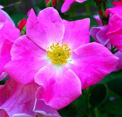 wild prairie rose iowa s state flower serious inkspired musings wild prairie rose state flower of iowa