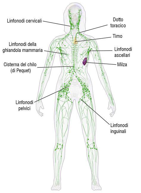 vasi arti inferiori sistema linfatico 53919 designtvi