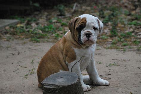 bulldog puppies alabama puppies alabama bulldogs