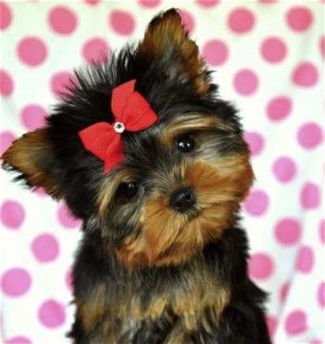 bello toys yorkies mejores 24 im 225 genes de mini yorkie en perros peque 241 os animales lindos y