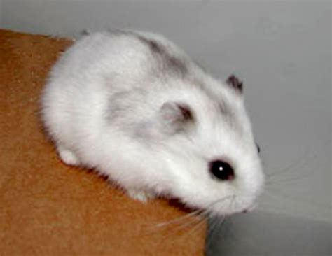 The gallery for   > Cute Baby Robo Dwarf Hamsters