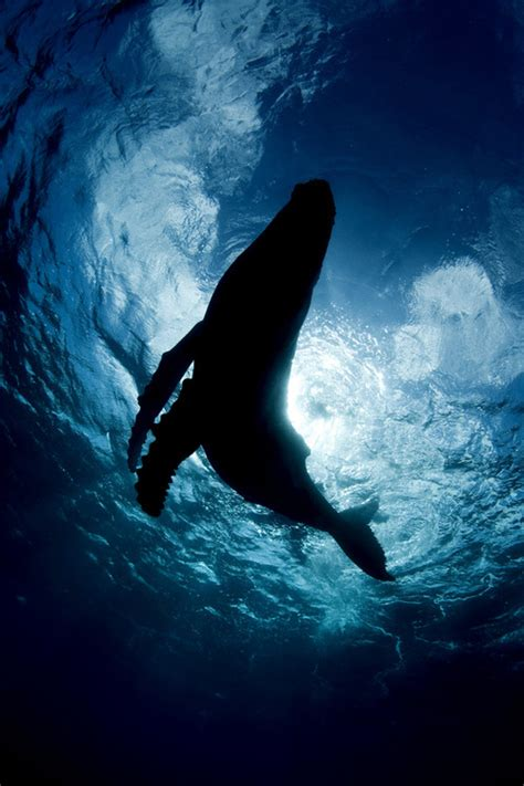 underwater wallpaper tumblr humpback whale underwater wallpaper www imgkid com the